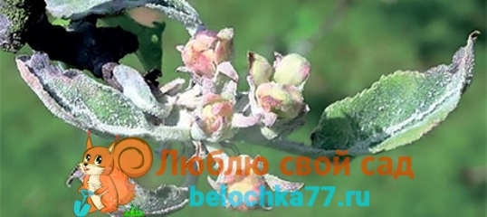 Мучнистая роса яблони
