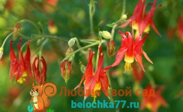 Аквилегия канадская (Aquilegia canadensis)