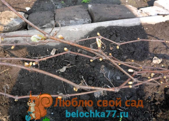 Когда нужно открывать виноград весной в Украине, Подмосковье, Средней полосе, на Урале, в Сибири