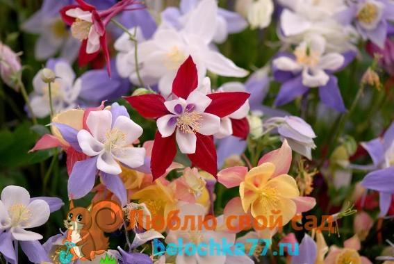 Аквилегия гибридная крупноцветковая смесь