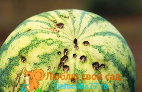 Антракноз арбуза