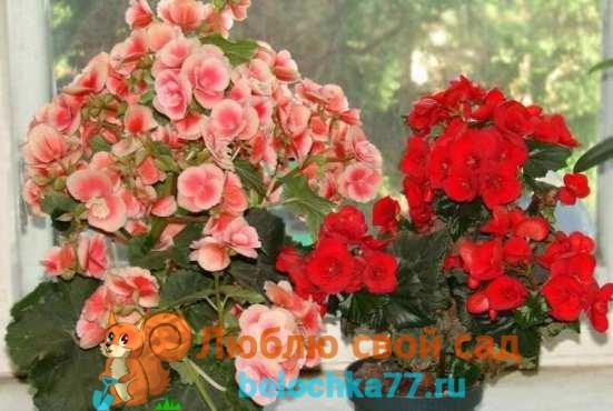 Цветок бегония уход в домашних условиях