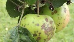 Болезни и вредители яблонь с фото и описанием, меры борьбы