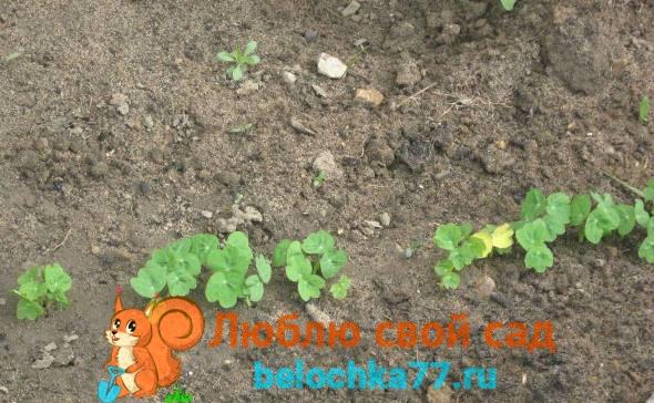 Когда сажать настурцию семенами в открытый грунт