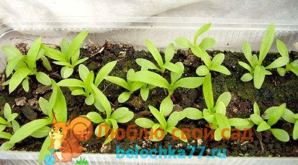 Выращиваем рассаду флоксов