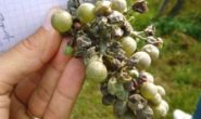 Обработка винограда весной от вредителей и болезней. Болезни и вредители винограда с фото