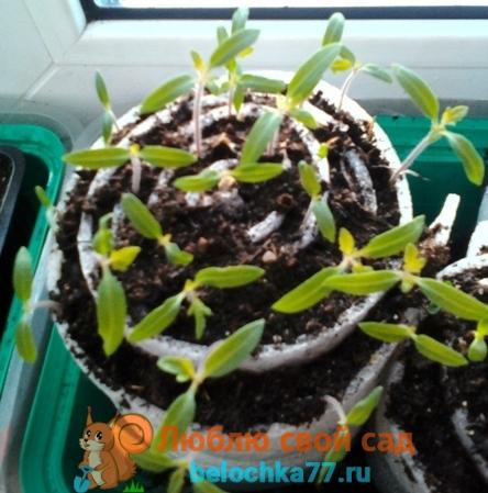 Сеянцы помидоров в улитке