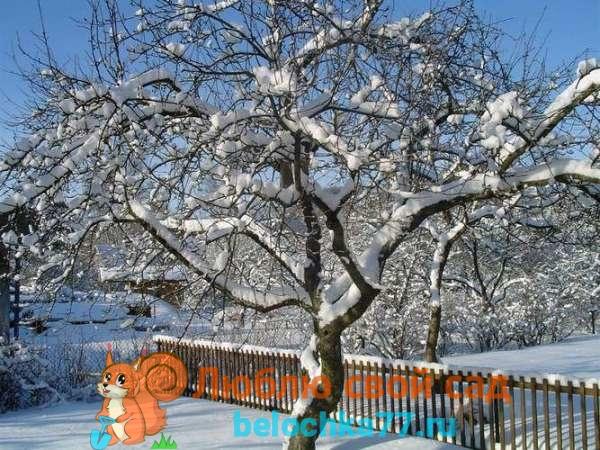 Особенности обрезки яблонь зимой