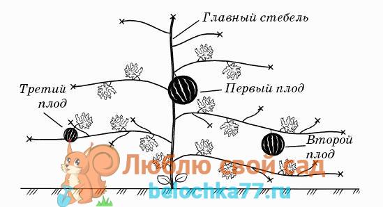 Схема формирования арбузного растения