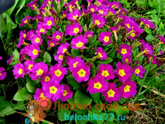 Примула Юлии Primula juliae.