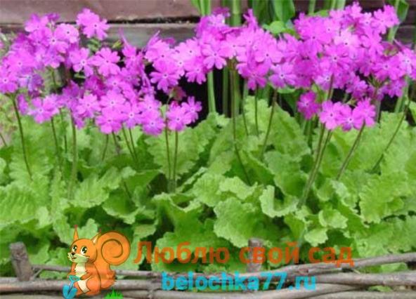 Примула кортузовидная Primula cortusoides