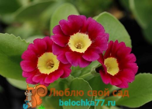 Примула pubescens Rubin