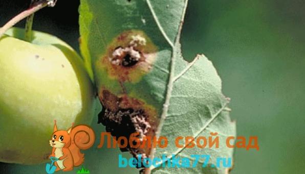 Ржавчина яблони