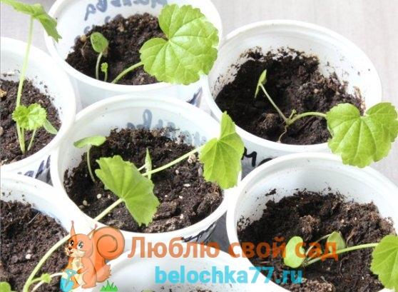 Выращивание шток розы рассадой из семян