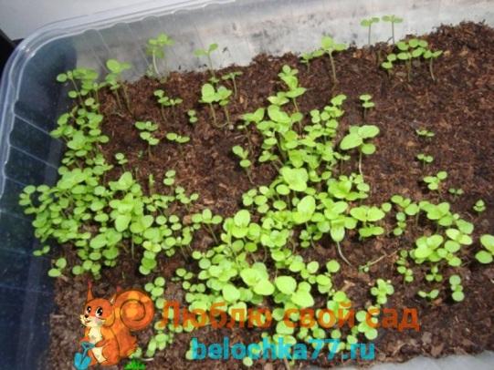 Выращивание агератума в домашних условиях