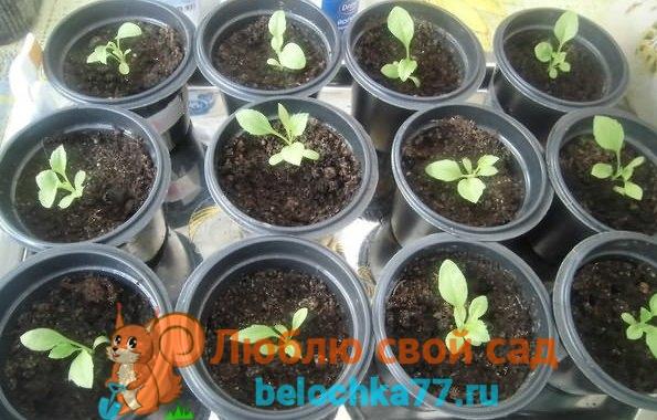 Правила выращивания рассады астр из семян