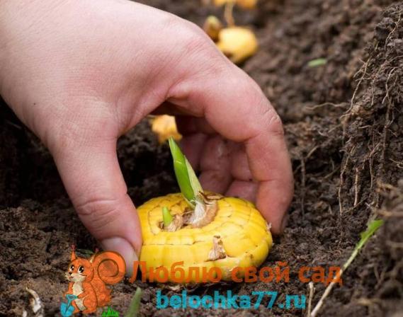 Посадка луковиц и деток