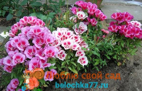 Фото цветка такка