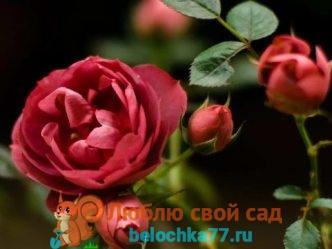 Когда открывать розы весной