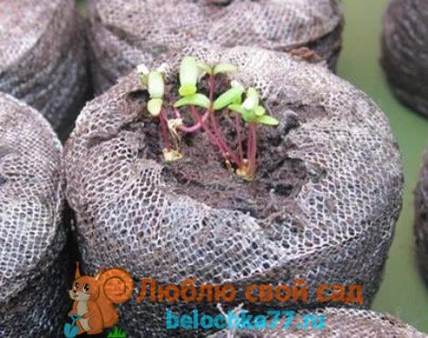 Выращивание рассады в домашних условиях
