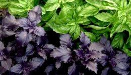 Базилик - выращивание из семян, когда сажать