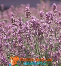 Lavender Pink Perfume