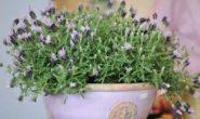 Лаванда - посадка и уход, выращивание из семян