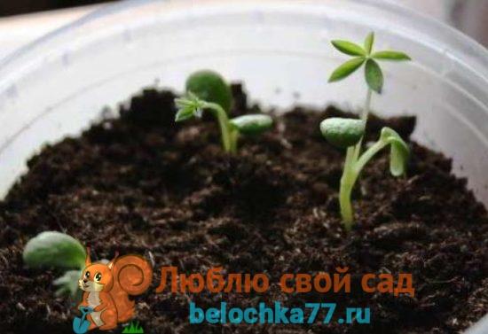 Выращивание люпина Рассадой