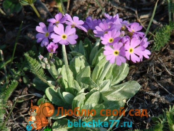 Primula farinosa Первоцвет мучнистый