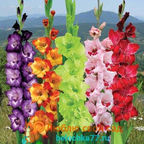 Как срезать цветок гладиолуса