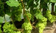 Когда открывать виноград весной после зимы