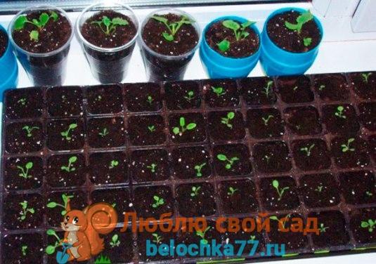 Выращивание из семян в домашних условиях