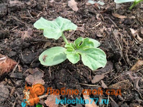 Когда и как высаживать арбузы в грунт
