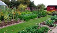 Что после чего можно сажать на огороде - овощной севооборот культур