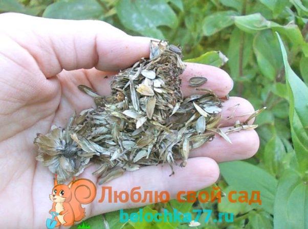 Как собрать семена циннии