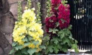 Шток роза - выращивание из семян, когда сажать на рассаду. Мальва - посадка и уход