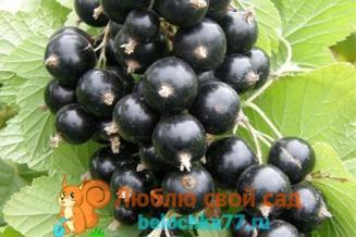 Лучшие сорта черной смородины с крупными ягодами