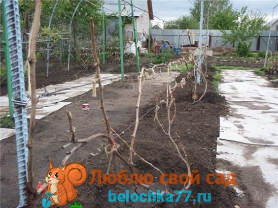 Обработка винограда весной после открытия