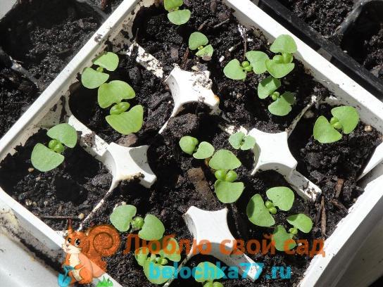 Выращивание через рассаду из семян