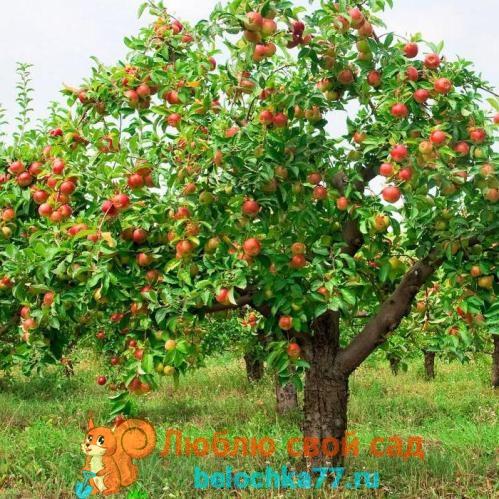 Особенности летней обрезки яблони