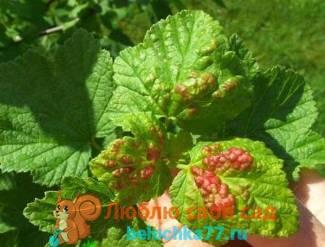 Болезни и вредители смородины, обработка весной