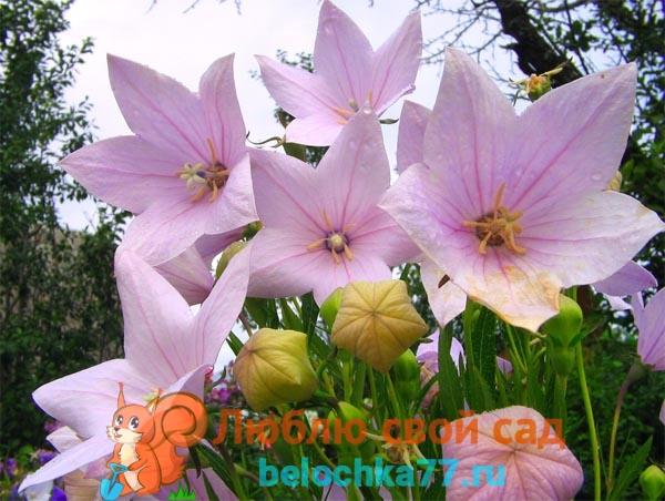 Платикодон крупноцветковый Фуджи Пинк