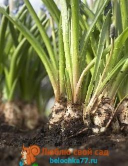 Выращивание фрезии в теплице