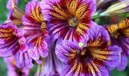Сальпиглоссис – выращивание из семян, когда сажать на рассаду. Сорта с фото