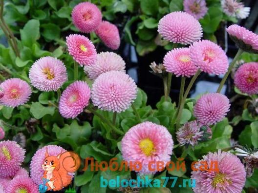 Маргаритки: личный опыт выращивания 88