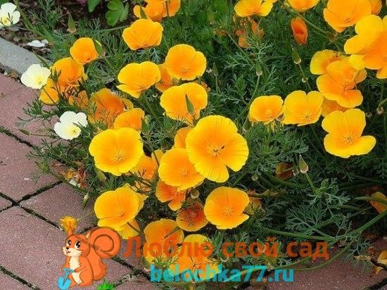 Эшшольция калифорнийская — Eschscholzia californica