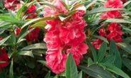Бальзамин садовый - выращивание из семян