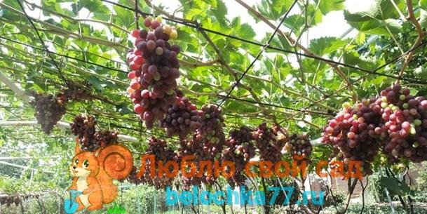 Обрезка винограда на арке