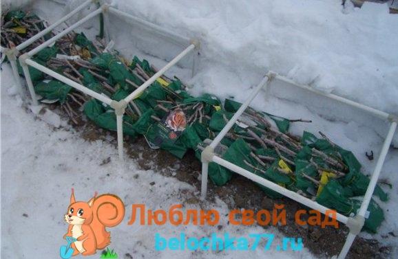 Метод прикопа или сохранение под снегом
