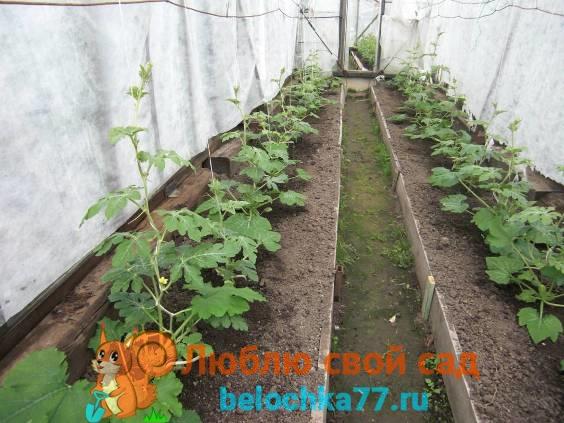Высадка рассады арбуза в теплицу